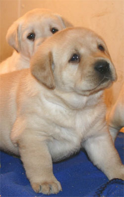 Yellow  Puppies on Yellow Lab Puppies Jpg